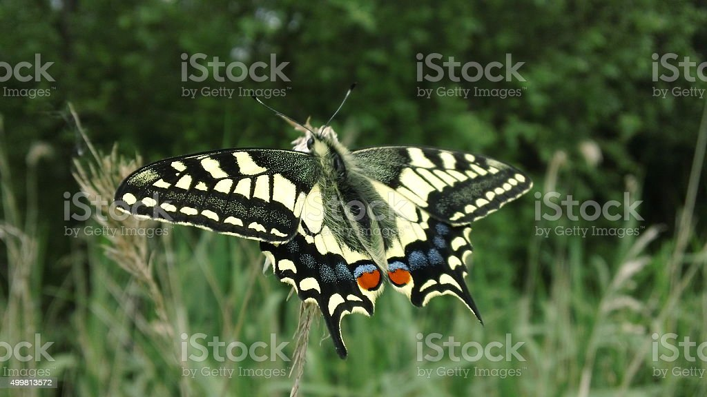 Swallowtail butterfly (Papilio machaon) stock photo