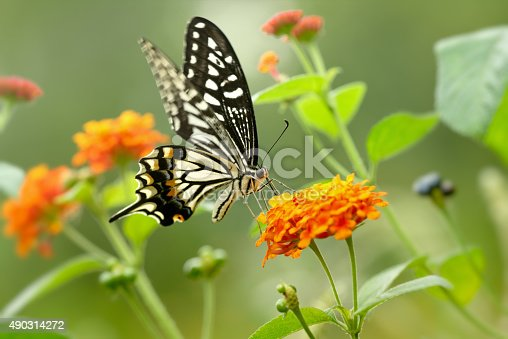 Close-up of a swallowtail butterfly pollinating on lantana flowers,Shot with Nikon D810