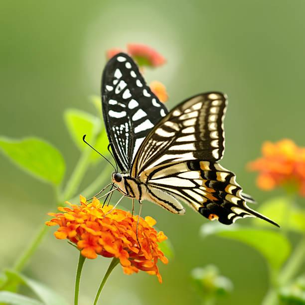 Swallowtail butterfly pollinating on lantana flowers picture id490547516?b=1&k=6&m=490547516&s=612x612&w=0&h=48 vn3w3umwuweqnxxkxlvj1uzgd3ridfeqs mpsmhy=