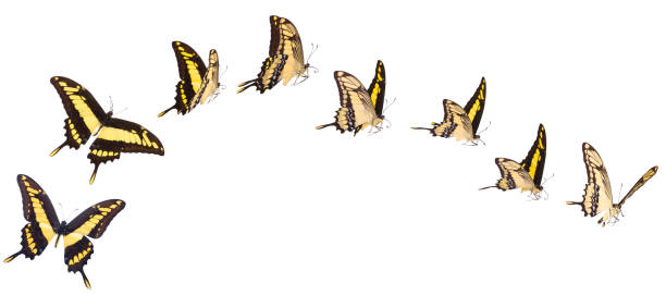 Swallowtail butterfly set isolated on white picture id1128052802?b=1&k=6&m=1128052802&s=612x612&w=0&h=w1odardvuyx0baimkaemkrjyfqdvpy4tfplurauja34=