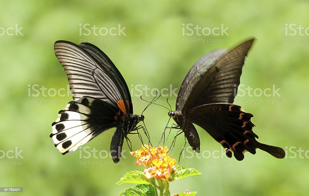 Swallowtail Butterfly share flowers royalty-free stock photo