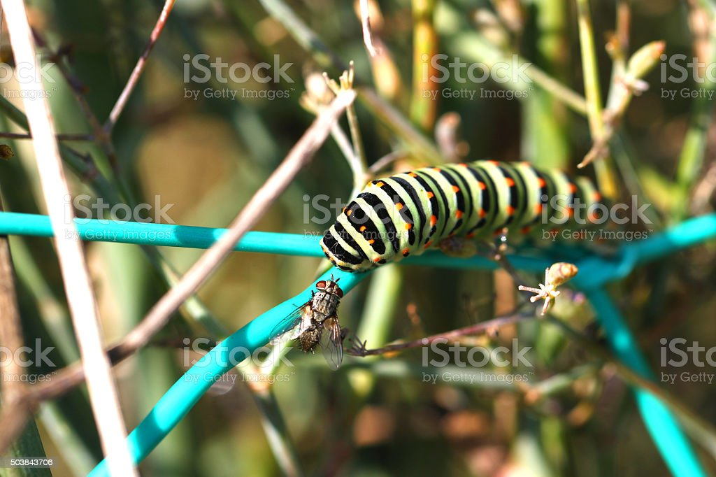 swallowtail caterpillar and a house fly stock photo