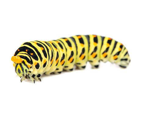 Swallowtail caterpillar isolated