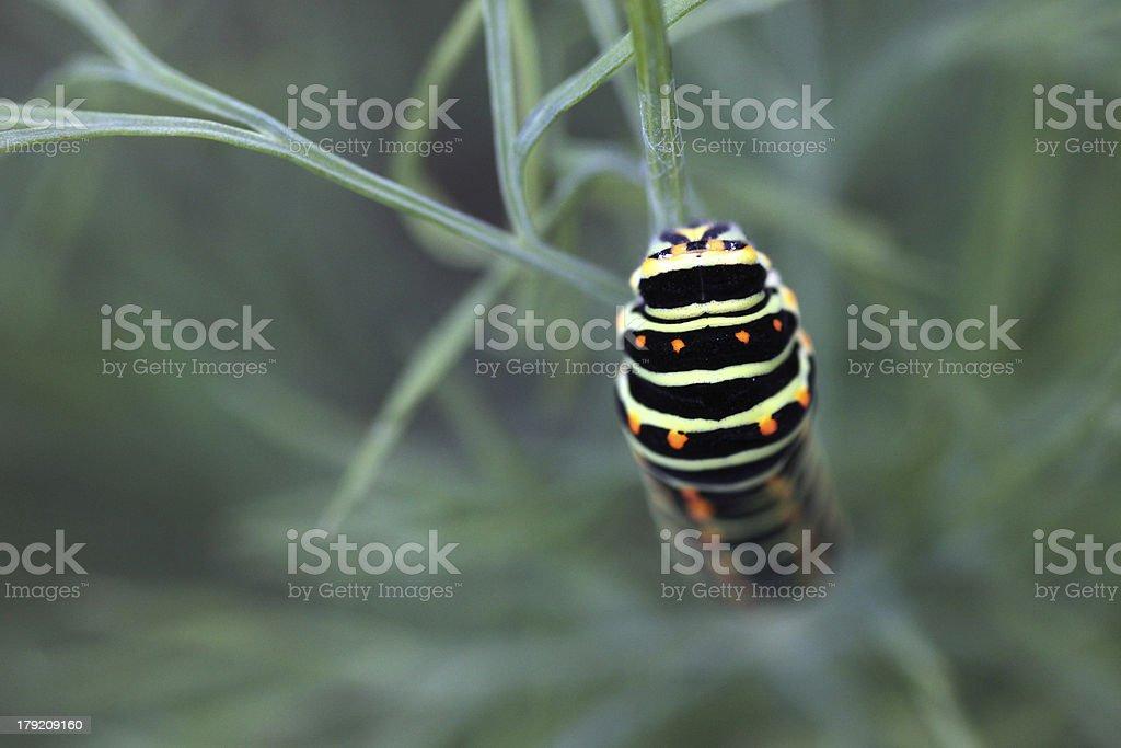 Swallowtail caterpillar on fennel royalty-free stock photo