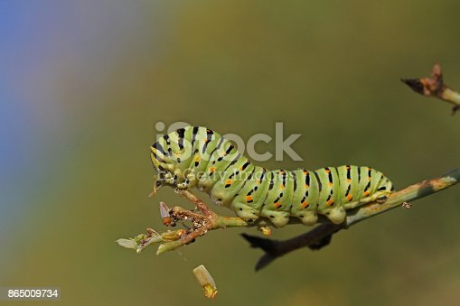 green and black caterpillar with red spots