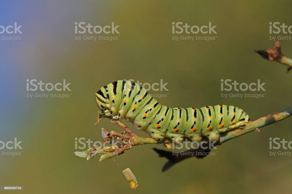 Lagarta de rabo de andorinha ou rabo de andorinha borboleta larva nome Latin papilio Macaão verde com listras pretas e manchas vermelhas muito perto se alimentando-se de uma planta de funcho selvagem em outubro na Itália - foto de acervo