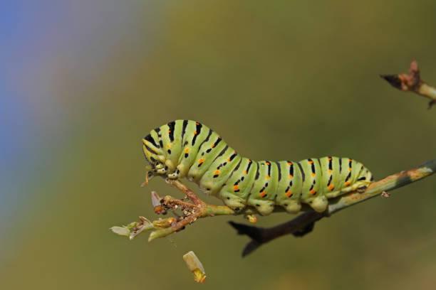 lagarta de rabo de andorinha ou rabo de andorinha borboleta larva nome latin papilio macaão verde com listras pretas e manchas vermelhas muito perto se alimentando-se de uma planta de funcho selvagem em outubro na itália - lagarta - fotografias e filmes do acervo