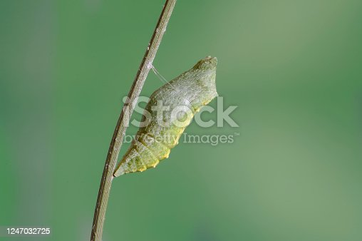 Swallowtail chrysalis (Papilio machaon)