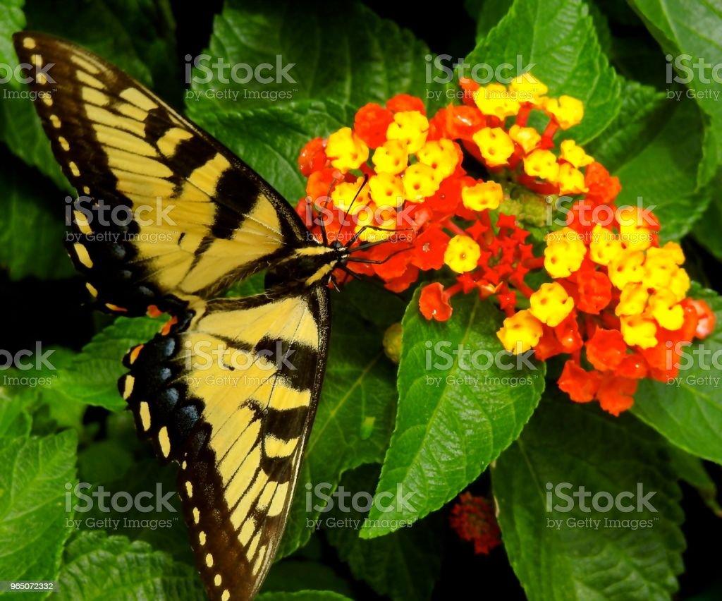 Swallowtail on Lantanas zbiór zdjęć royalty-free