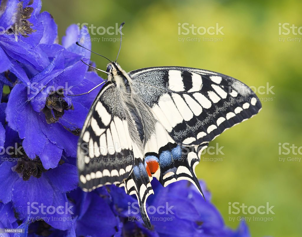 Swallowtail, Papilio Machaon Butterfly pollinating a Flower (XXXL) stock photo