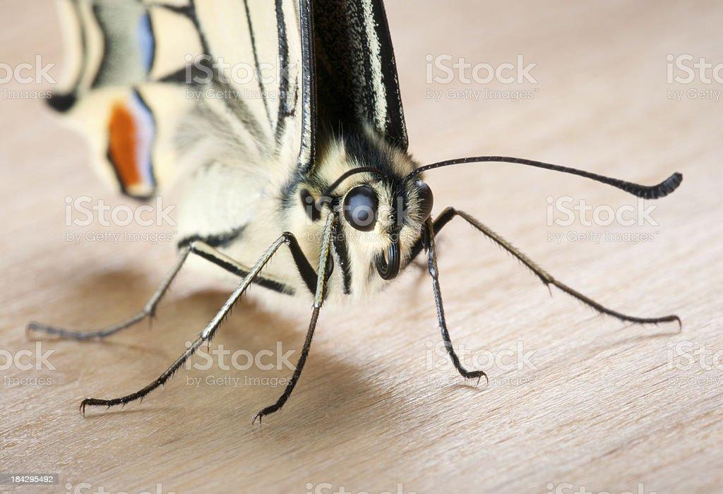 Swallowtail, Papilio Machaon Butterfly Portrait, Macro (XXXL) stock photo
