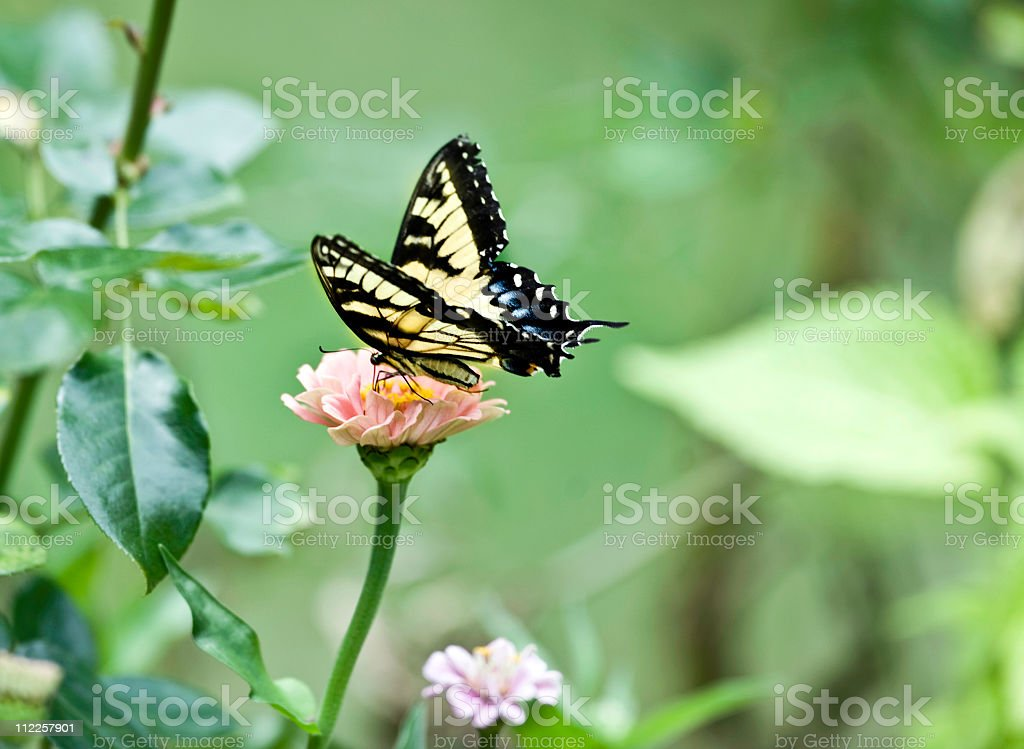 swallowtail pastel butterfly and zinnia stock photo
