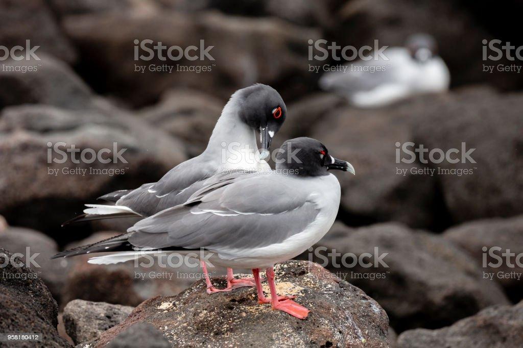 Swallow-tailed Gull (Creagrus furcatus) in Galapagos Islands, Ecuador stock photo
