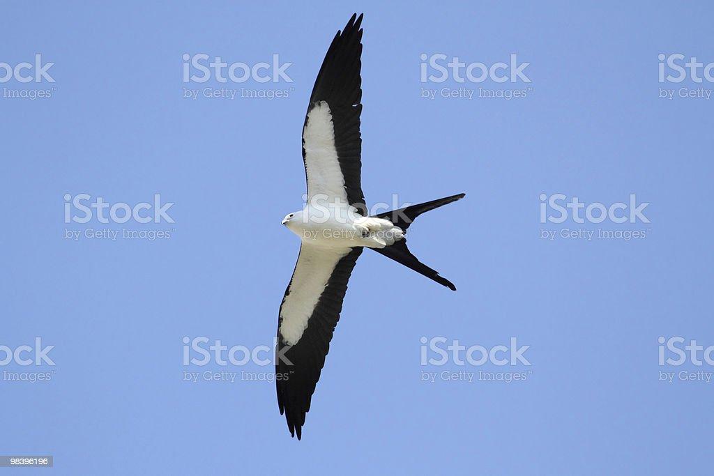 Swallow-tailed Kite royalty-free stock photo