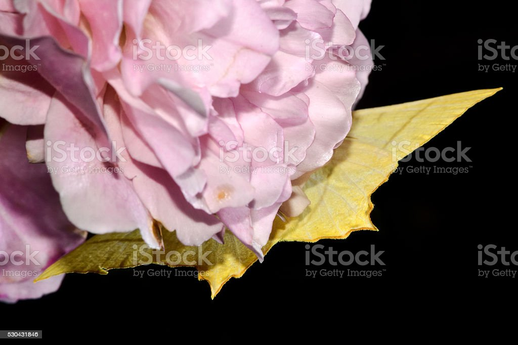 Swallowtailed Moth Upsidedown On Rose Stock Photo More Pictures Of