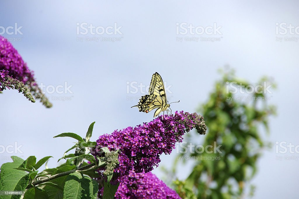 swalowtail butterfly royalty-free stock photo