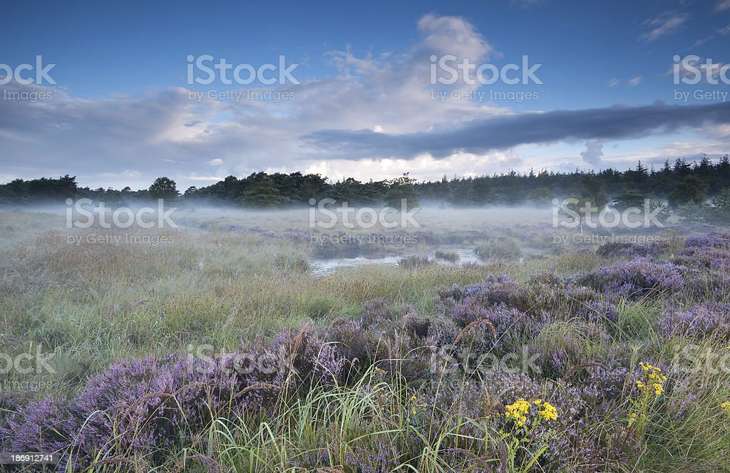 swamp and flowering heather in misty morning royalty-free stock photo