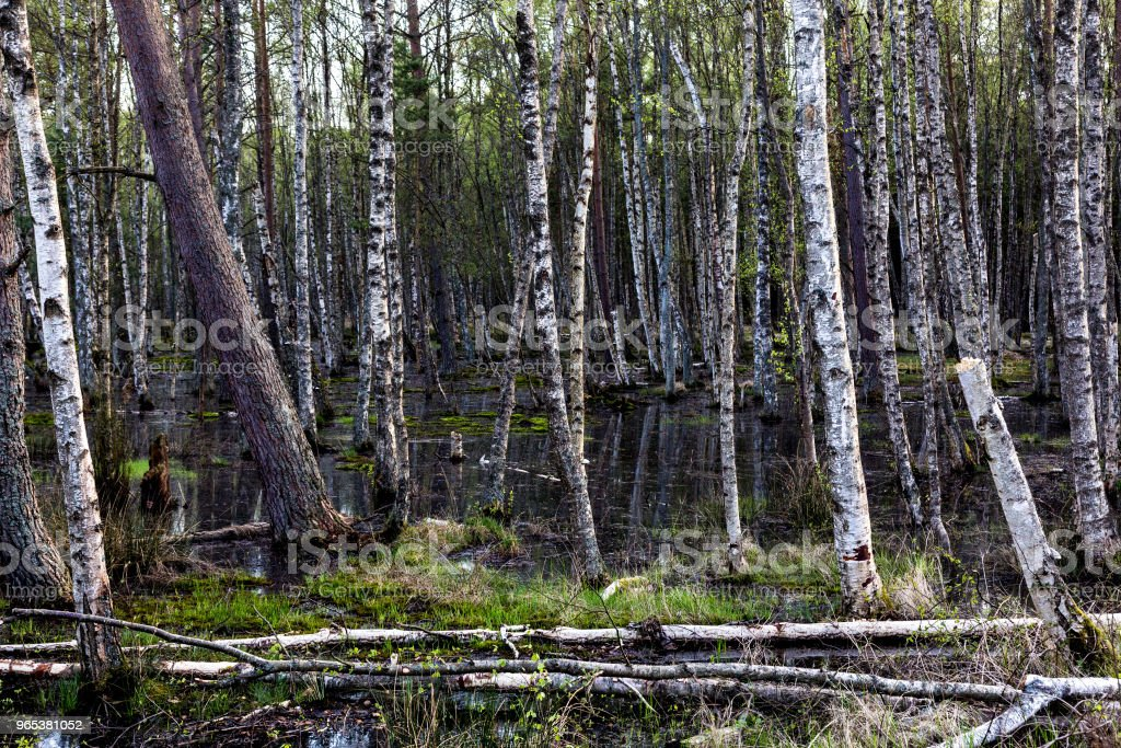 Swamp and woods by the Baltic sea royalty-free stock photo