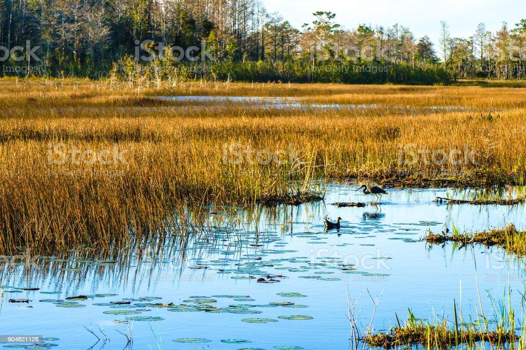 swamp birds in the marsh stock photo
