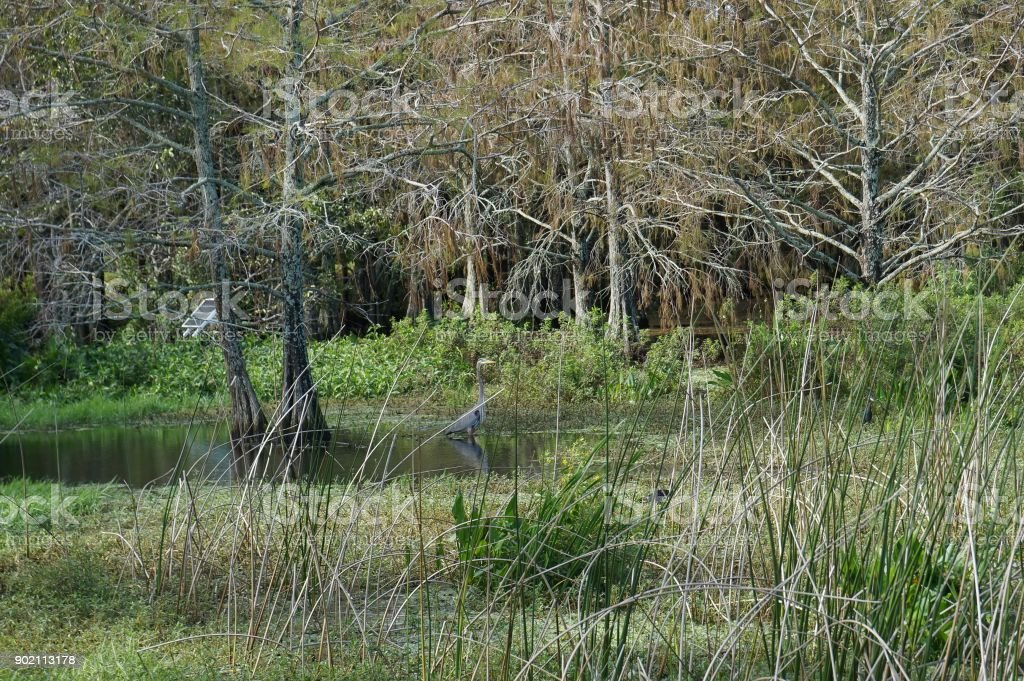 swamp birds wading in Florida stock photo
