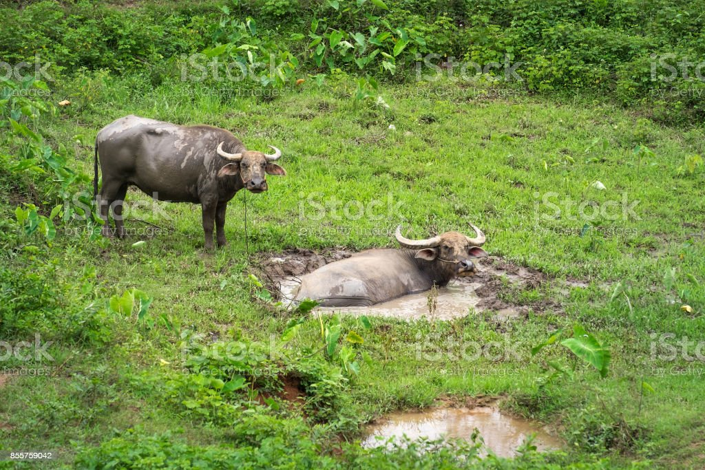 Swamp buffalo, Asian Buffalo in the swamp in the field at top north Thailand stock photo