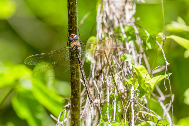 Swamp Darner Dragonfly Hanging Onto a Branch stock photo