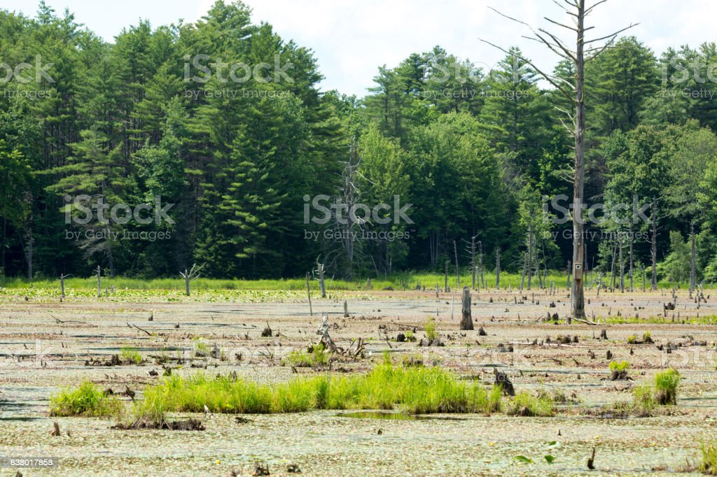 Swamp formed by a beaver dam in New Hampshire. stock photo