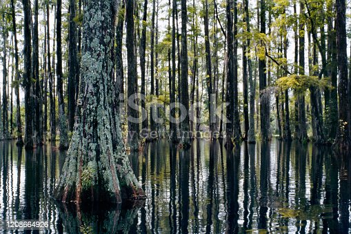 Bald cypress swamp tree forest in Cypress Gardens, Moncks Corner, Charleston, SC. Closeup of cypress trunk and buttress in a peaceful swampland