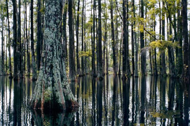 moeras in cypress gardens. een moerasbos en zijn kalme bezinning - zuidoost stockfoto's en -beelden