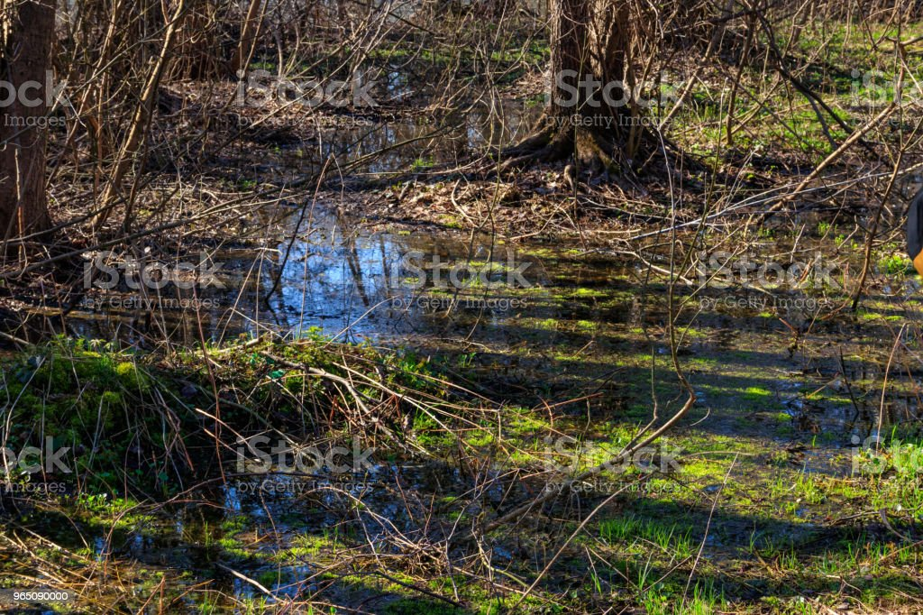 Swamp in forest royalty-free stock photo
