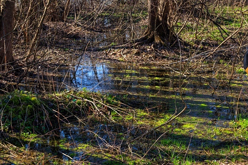Swamp In Forest Stock Photo - Download Image Now
