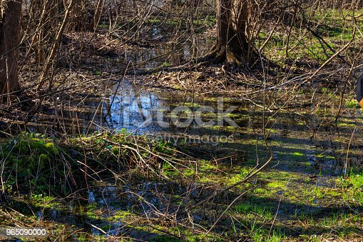 Swamp In Forest Stock Photo & More Pictures of Ancient