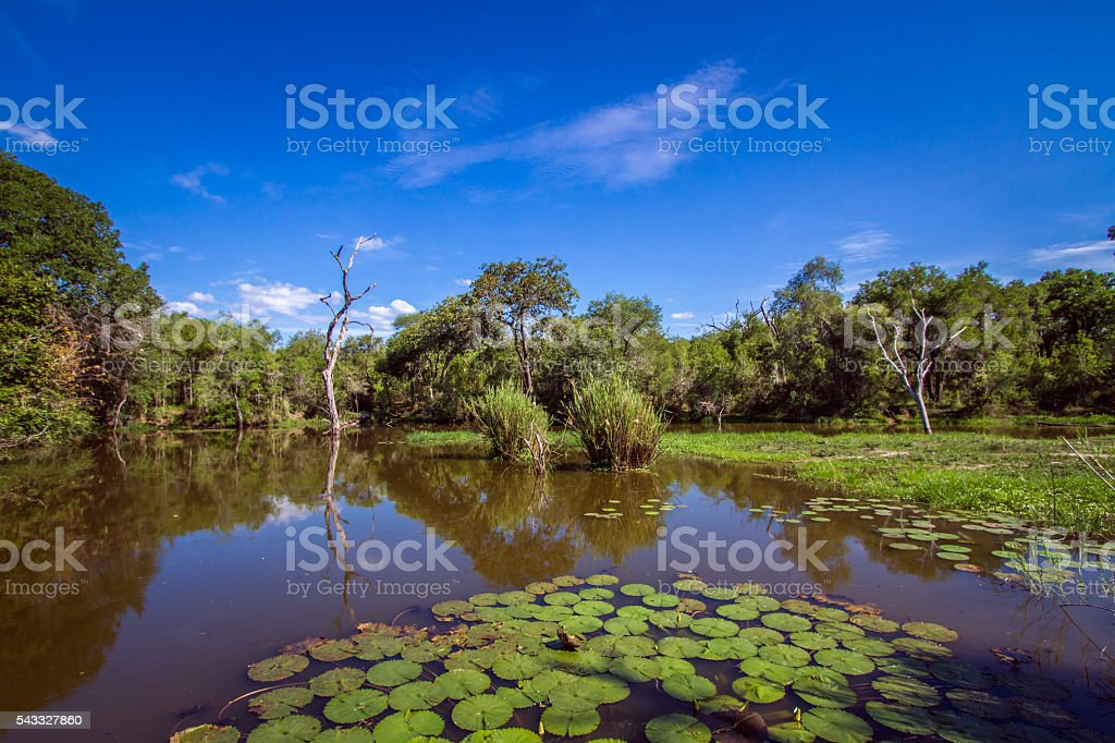 Swamp in Kruger National park, South Africa stock photo