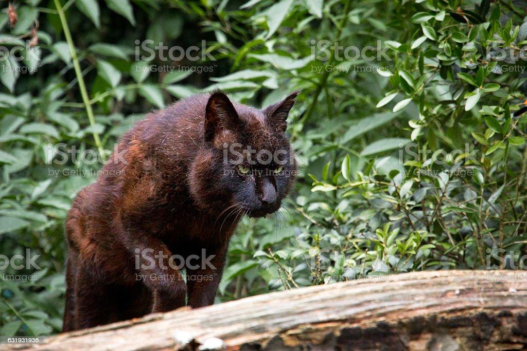 Swamp lynx stock photo