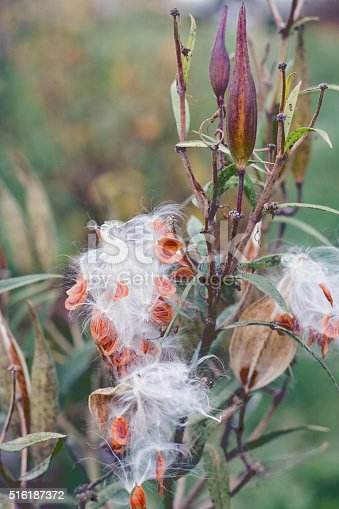 Aselepias incarnata during seed formation is a herbaceous perennial plant species native to North America. Other names: swamp milkweed, rose milkweed, rose milkflower, swamp silkweed
