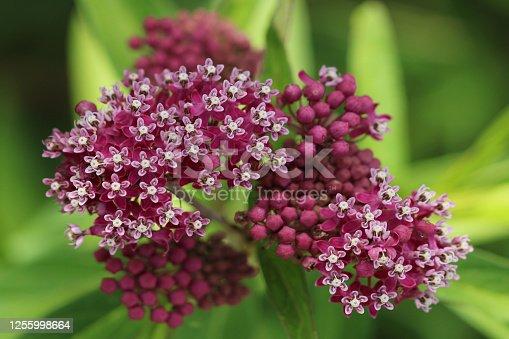 Macro top view of swamp milkweed