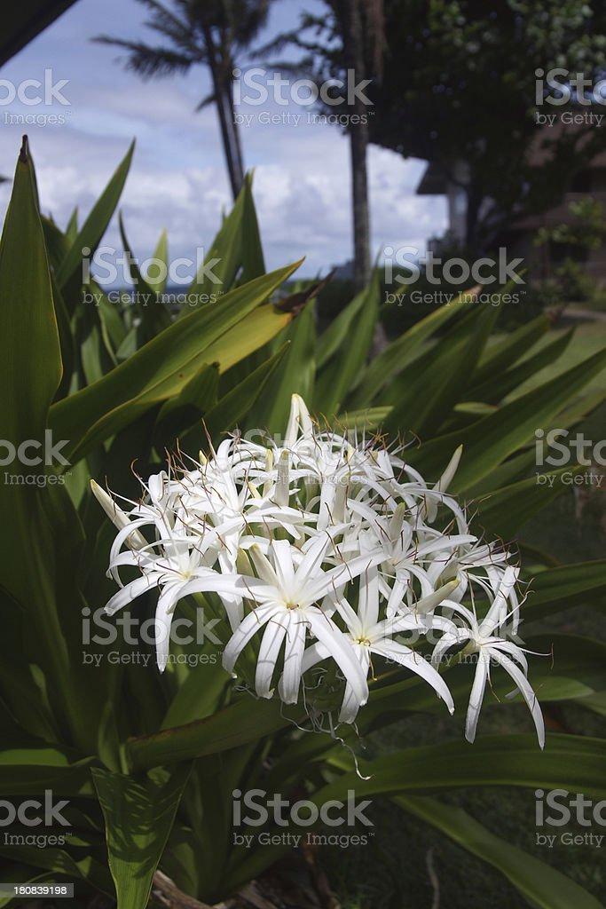 Swamp or Spider lily (Crinum pedunculatum) Vertical stock photo