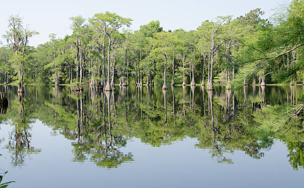 swamp - cypress tree stock photos and pictures