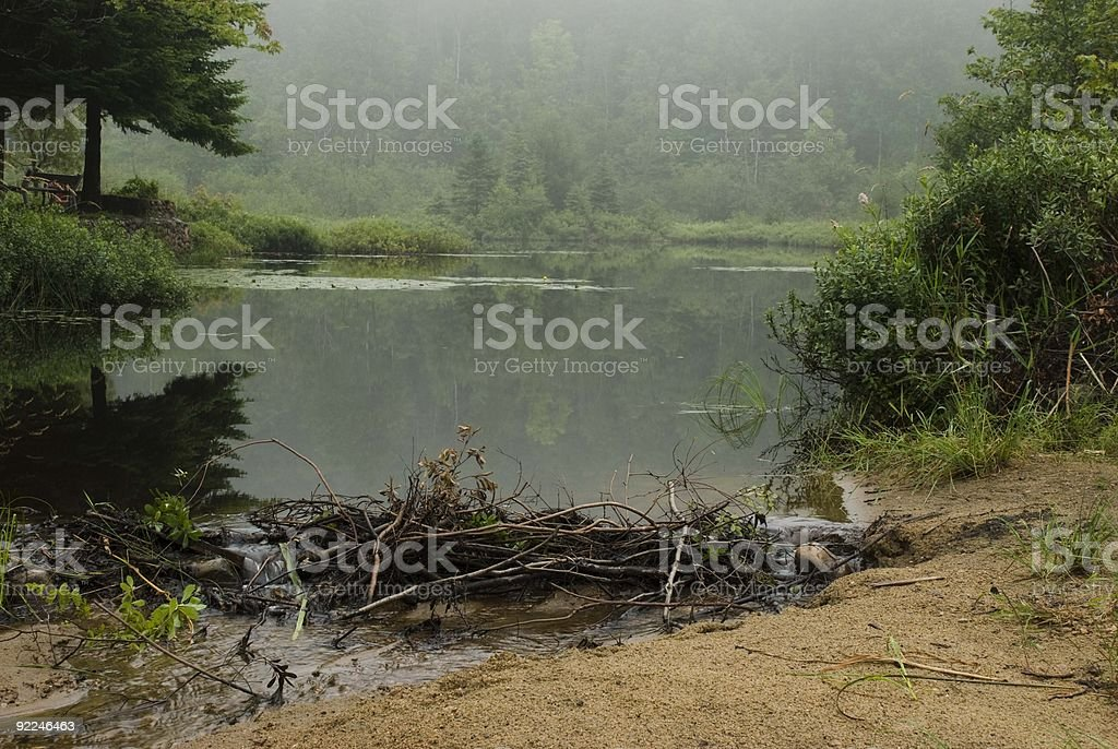 swamp shore, beaver work dam royalty-free stock photo