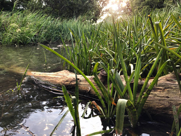 Swamp sunset stock photo