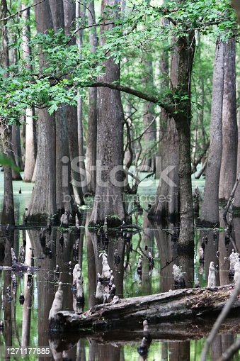 Swamp water with trees