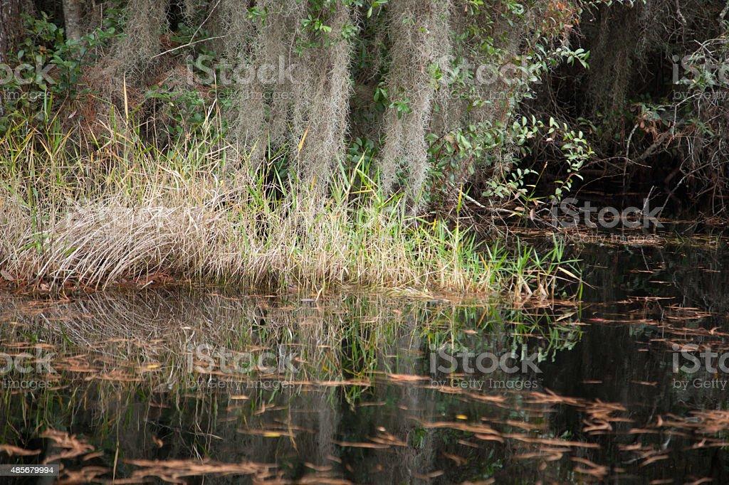 Swamp trees with Spanish Moss stock photo