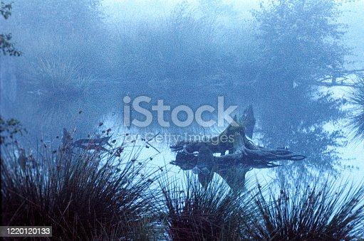 A swamp, very early in the morning. Roots of an old tree lie in the water. Photo was made in The Netherlands (nature reserve Oude Peel)