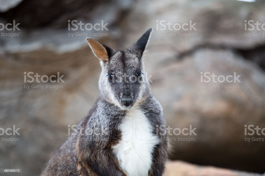 Swamp wallaby (Wallabia bicolor) stock photo