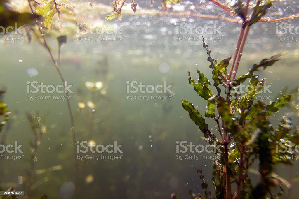Swamp water flora, Freshwater Underwater stock photo