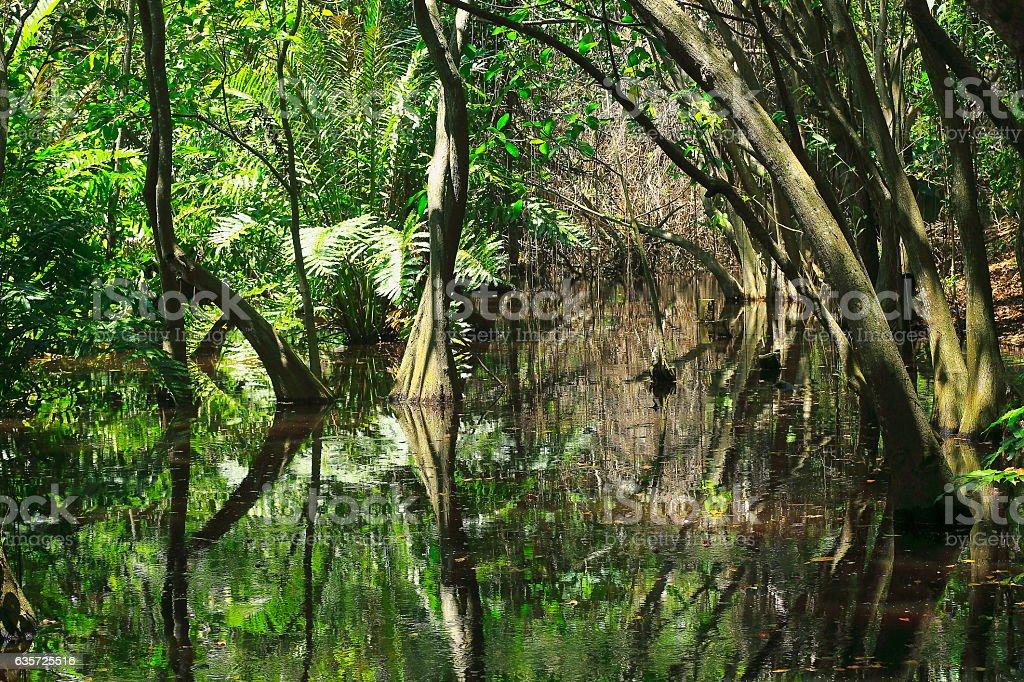 Swamp Wetland Mangrove Tropical Rainforest Tree Trunks And ...  Swamp Wetland M...