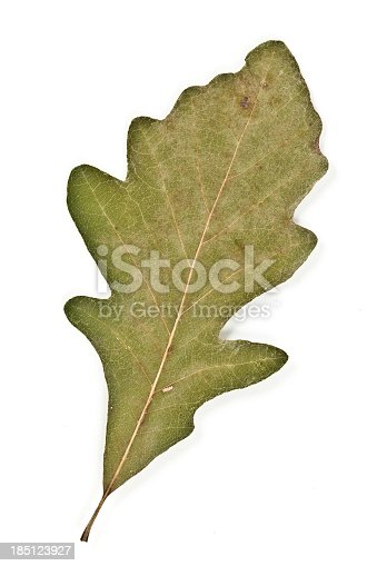 A Swamp White Oak ( Quercus bicolor ) leaf on white background.