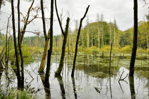 sumpf mit toten bäumen, müritz-nationalpark, deutschland - nationalpark müritz stock-fotos und bilder