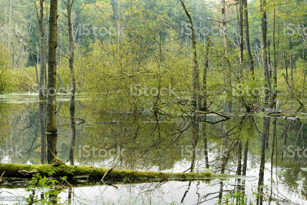 Swamp with Dead Trees, Müritz National Park, Germany stock photo