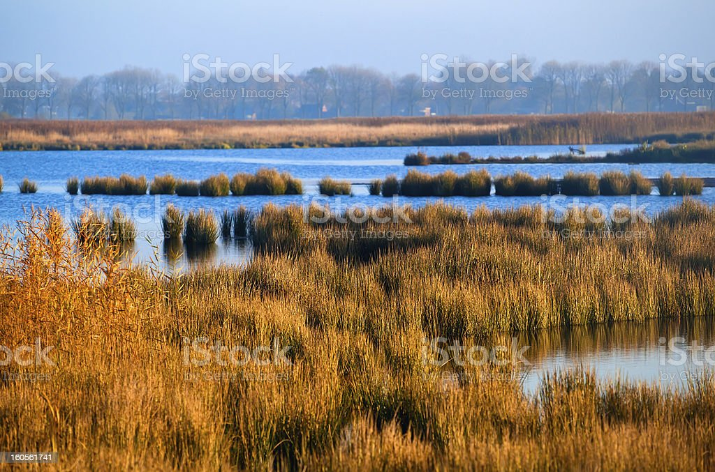 swamp with grass in morning royalty-free stock photo